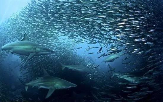 Tìm hiểu về cá mòi