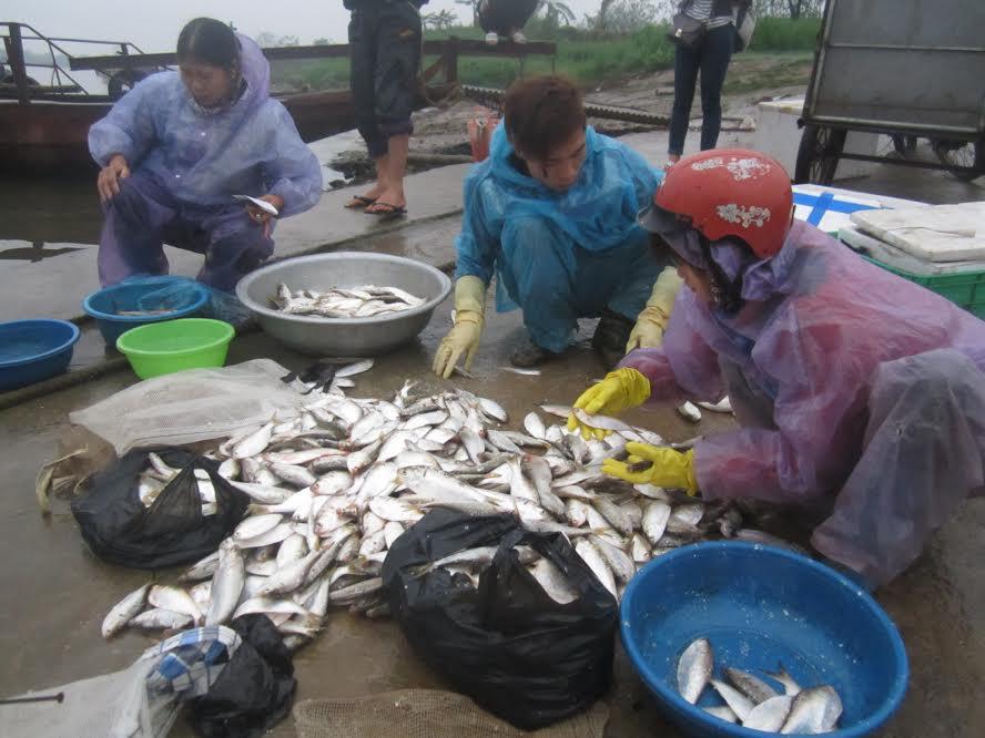 Tấp nập mùa cá mòi